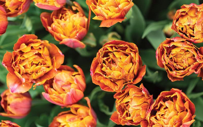 Разноцветный мульти тюльпан - новинка для сада