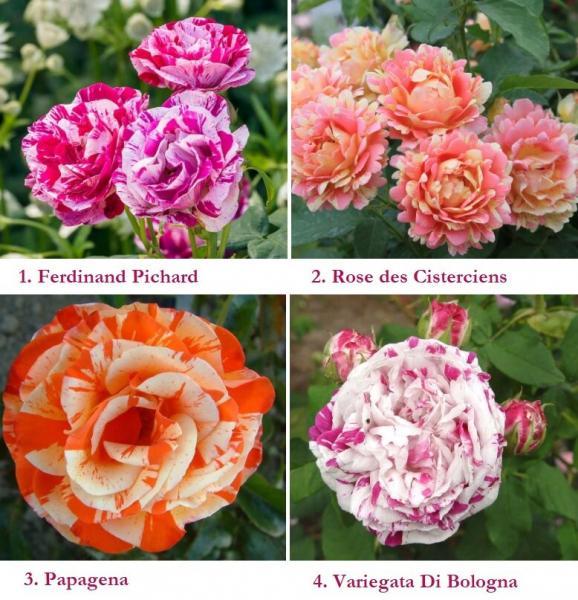 Розы для тех, кому надоели обычные сорта