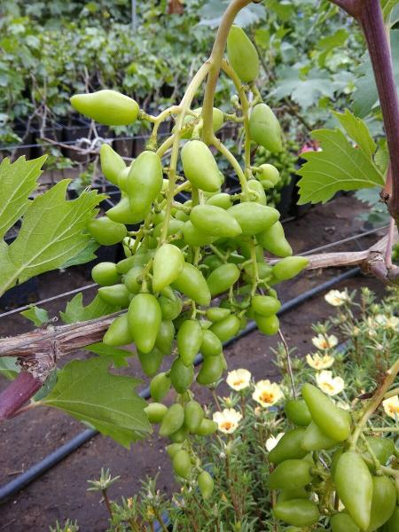 Схема питания для винограда