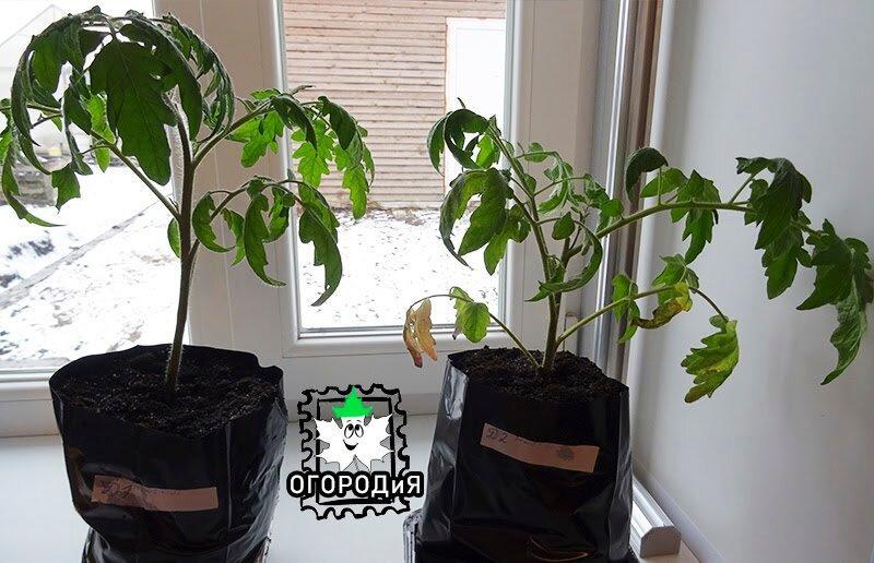 «Три в одном — томаты в мае» — эксперимент продолжается