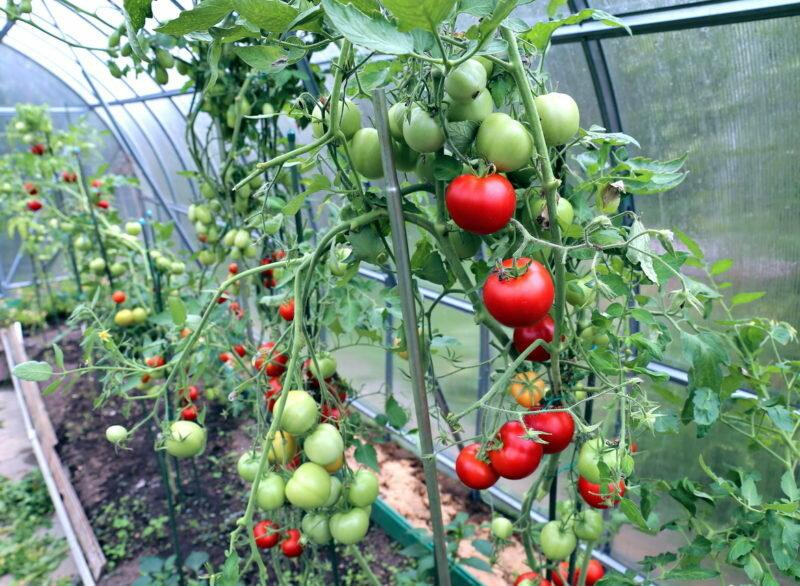Уход за томатами: хитрости повышения урожая