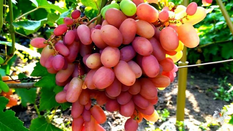 Виноград «Юлиан». Урожай и особенности гибридной формы