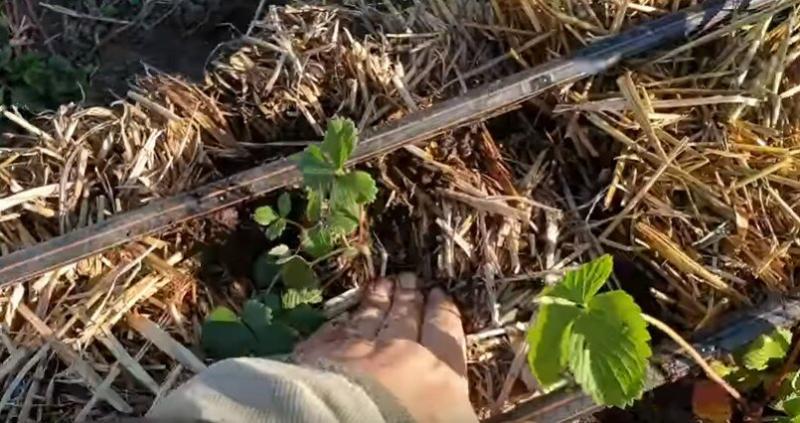 Выращиваем клубнику в грядке из соломы