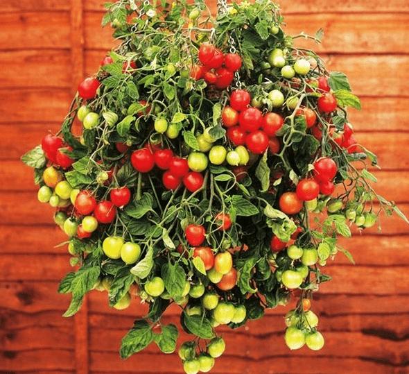 Ампельные томаты: какими должны быть и что продают