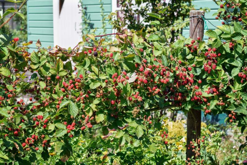 Болезни малины и ежевики – описание и способы лечения