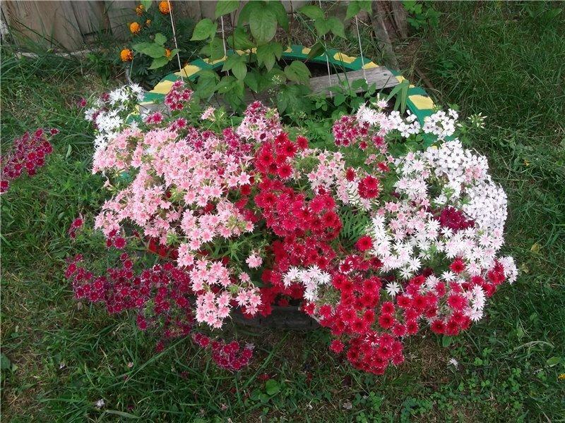 Цветет до осени