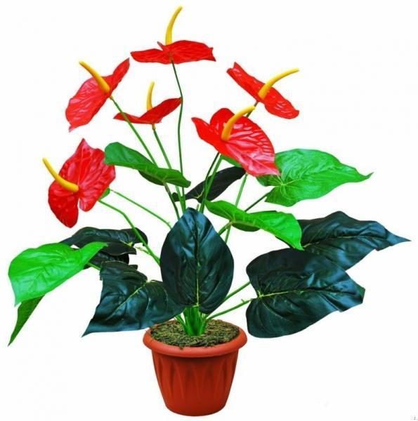 Цветок антуриум (мужское счастье): уход в домашних условиях