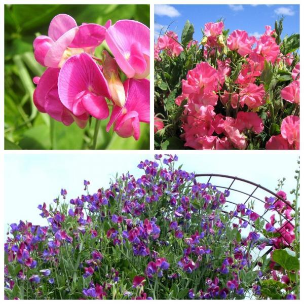 Цветы, которые уже можно посеять в марте. Часть 3.