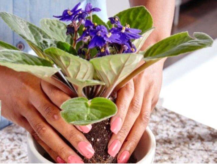 Два способа обеспечить фиалкам пышное цветение