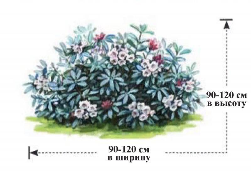 Этот рододендрон удивит вас не только цветами