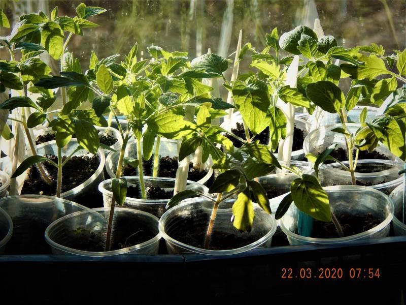 Хотите вырастить крепкую рассаду томатов?