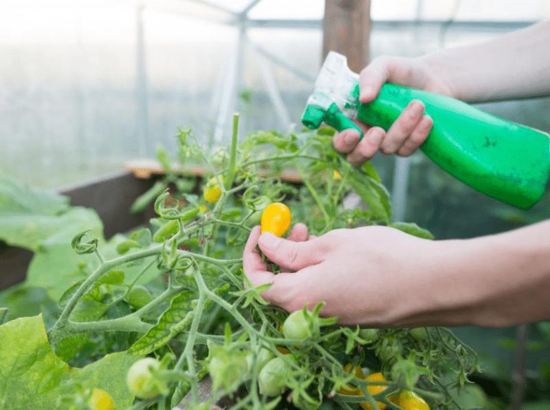 Йод для томатов. Подкормка растений для отличной урожайности