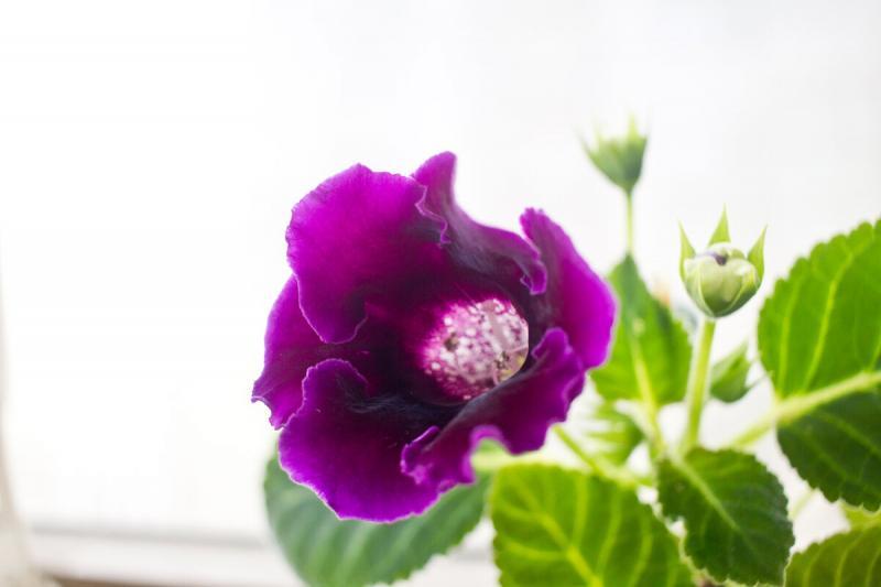 Как цветет глоксиния Импресс Парпл и немного тонкостей в уходе.