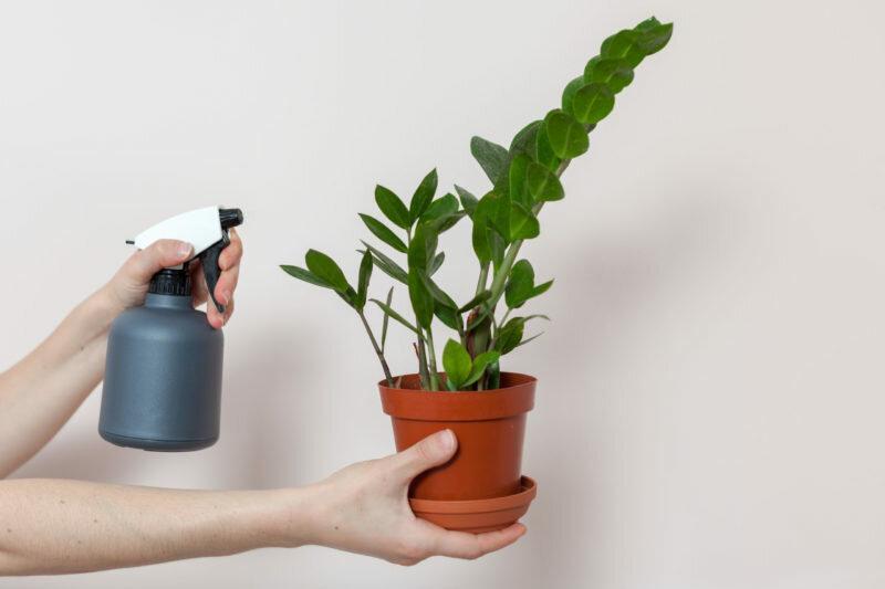 Как цветёт тропический замиокулькас — цветок безбрачия