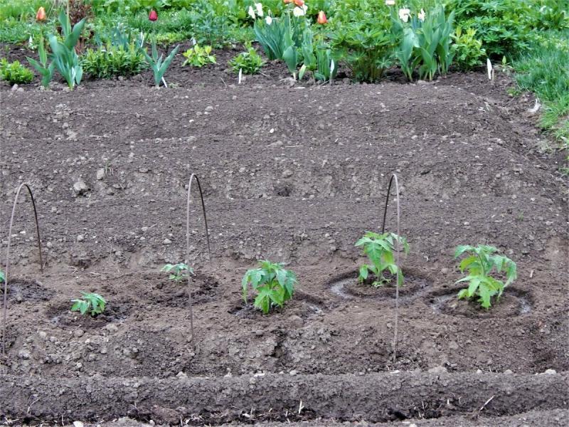 Как объём грунта влияет на качество рассады томатов.