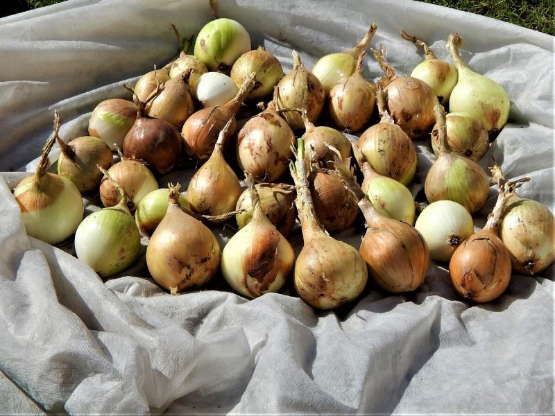 Как помочь прорасти семенам лука Эксибишен.