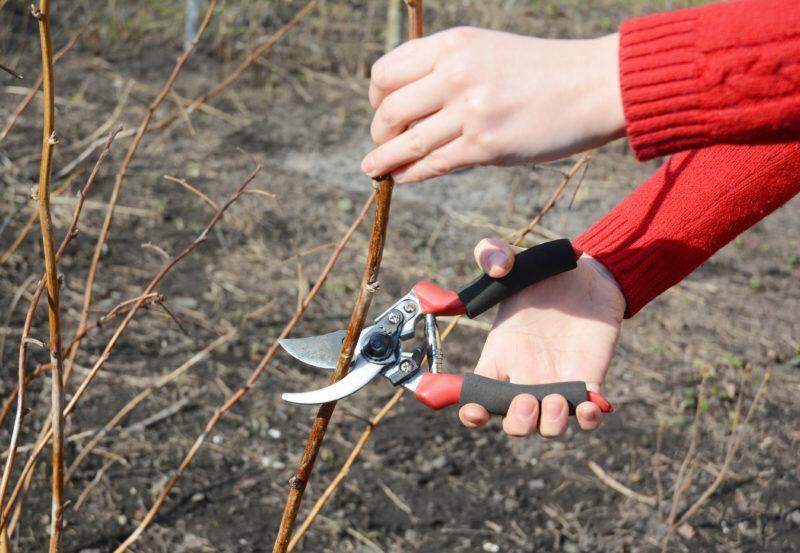 Как правильно обрезать малину весной, летом и осенью