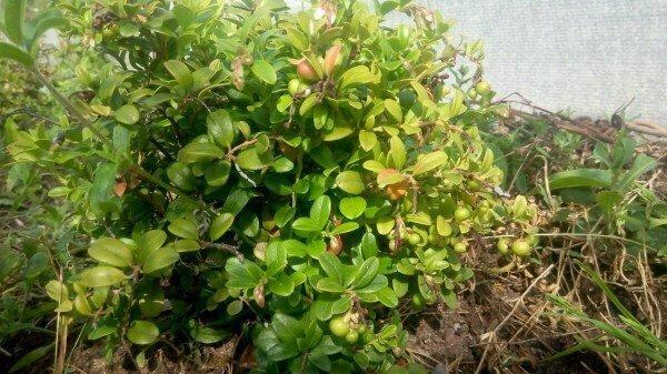 Как сделать болотную грядку в огороде