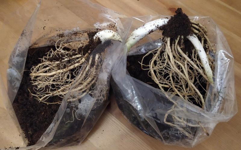 Как сохранить купленные саженцы хосты до посадки в грунт