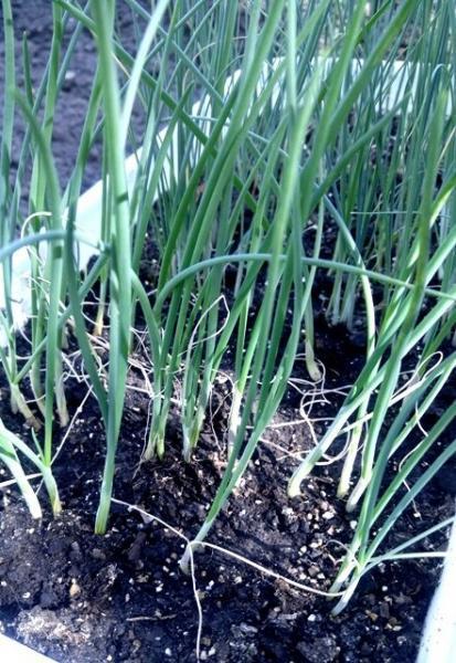 Как вырастить рассаду лука.