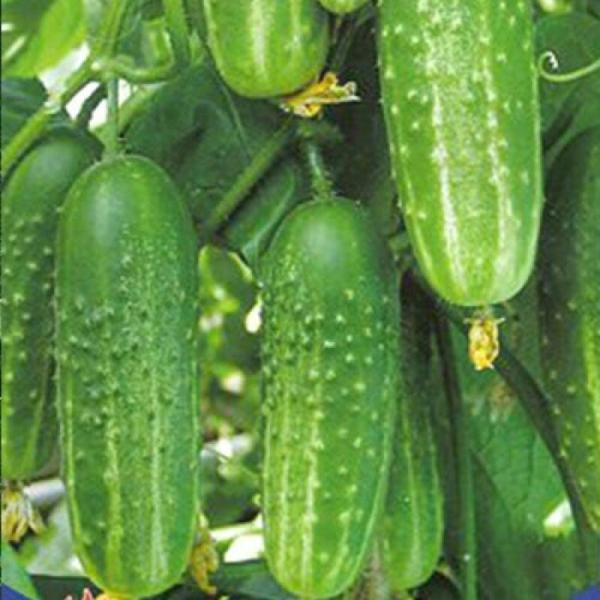 Какие огурцы будут плодоносят до глубокой осени