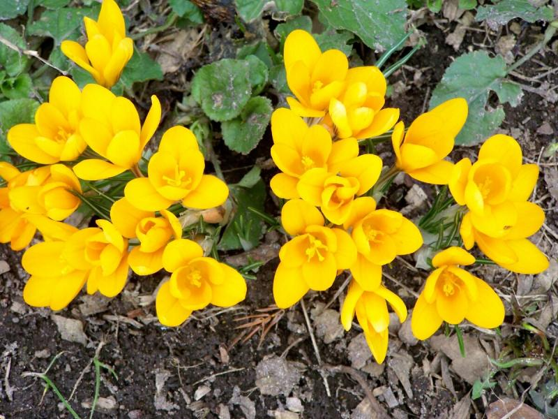 Крокусы в саду