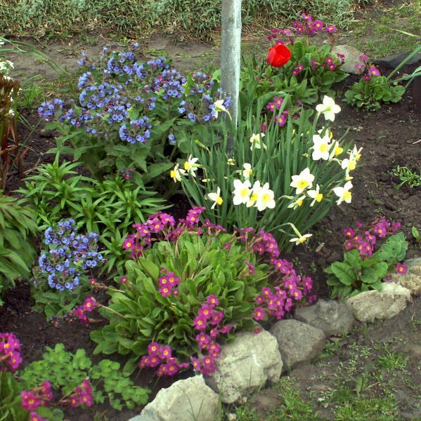 Медуница - украшение весеннего сада