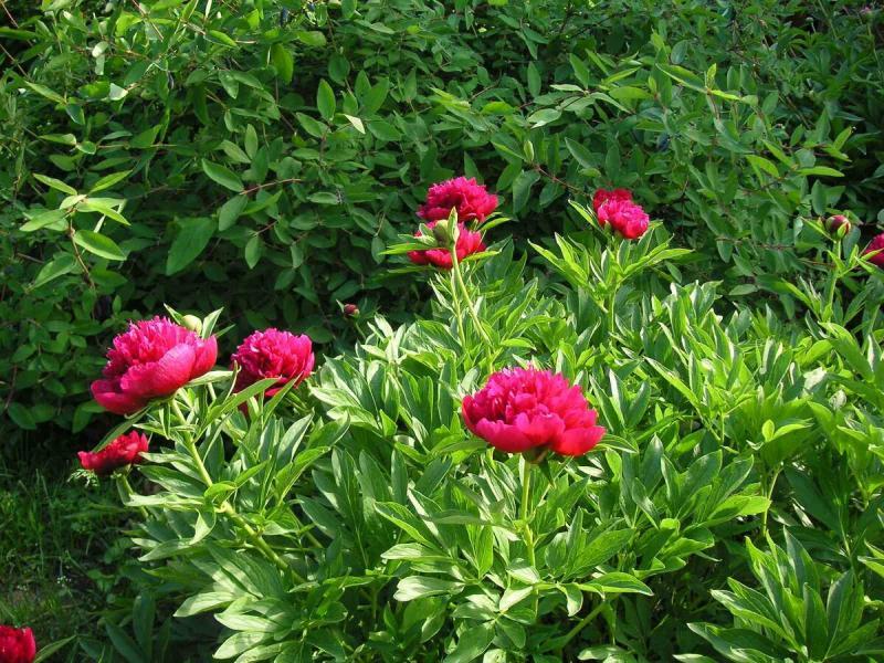 Многолетники - 8 цветов, за которыми не требуется большого ухода