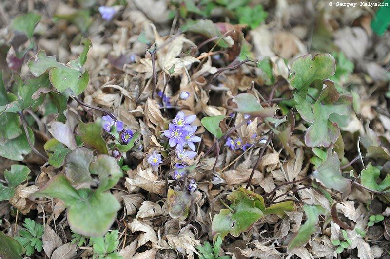 Мой сад в начале марта: доцветают крокусы