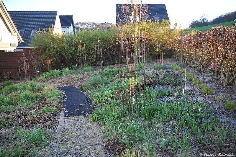 Мой сад в середине марта: зацвели тюльпаны и нарциссы