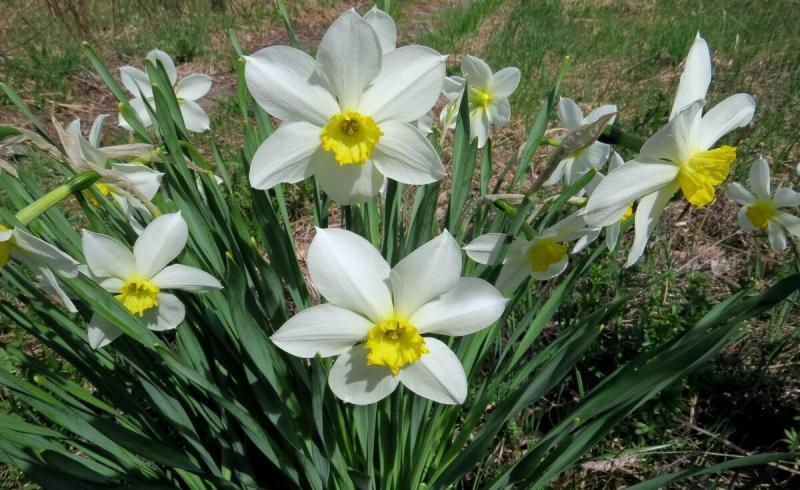 Нарциссы в вашем саду