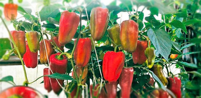 Не дать перцу зацвести или 35 плодов с куста