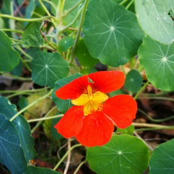 Особенности выращивания настурции из семян