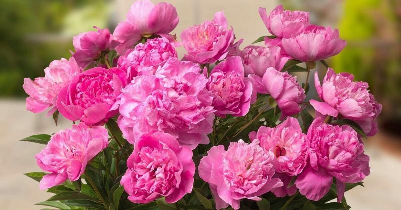 Патио-пионы: как вырастить цветок в горшке