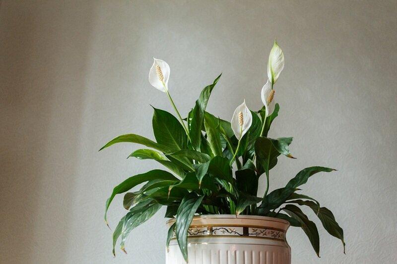 Почему не цветет спатифиллум и что с этим делать?