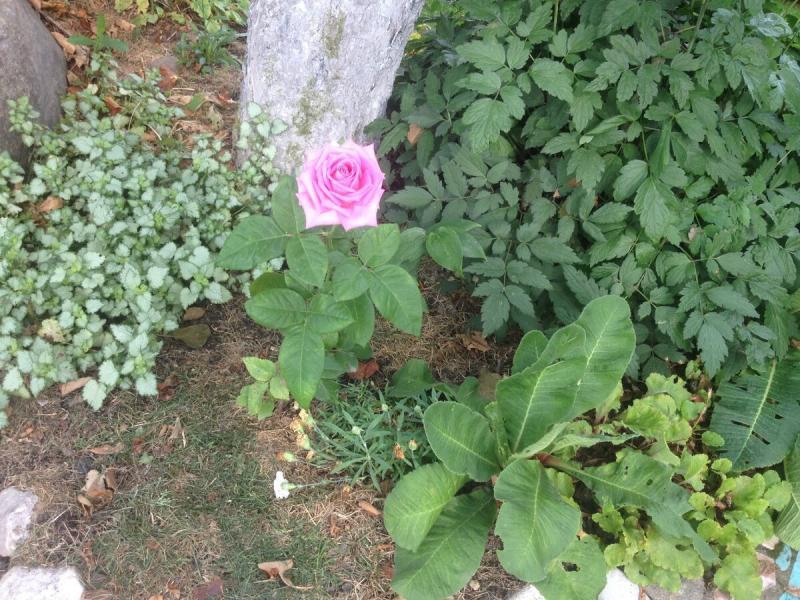 """Почему не удается вырастить """"розу из картошки"""" ?"""