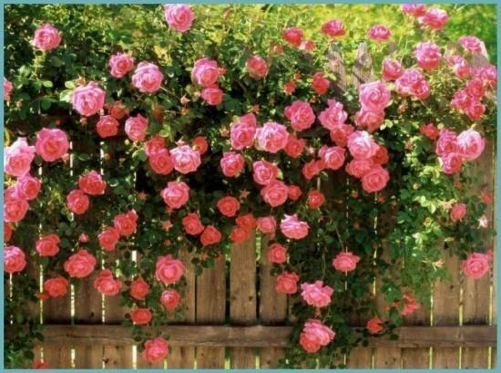 Посадка роз и уход за розарием