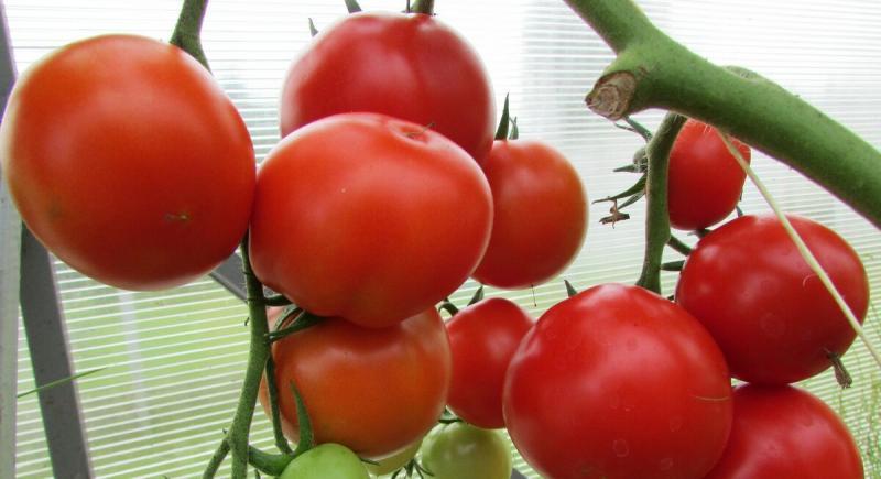Простой способ посеять томаты