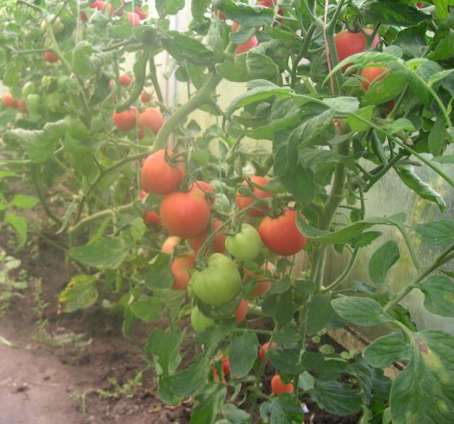Проверенный способ вырастить помидоры уже в июне, без теплицы!
