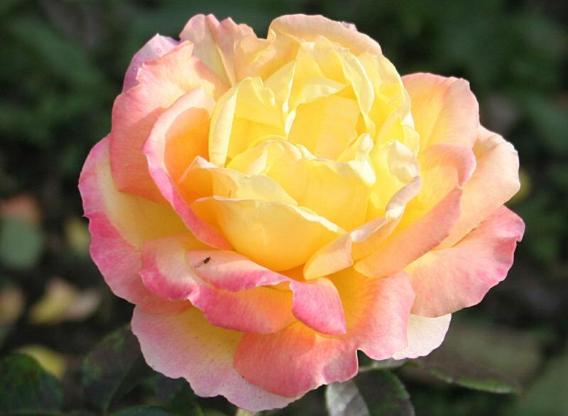 Розы флорибунда: характеристика сортов