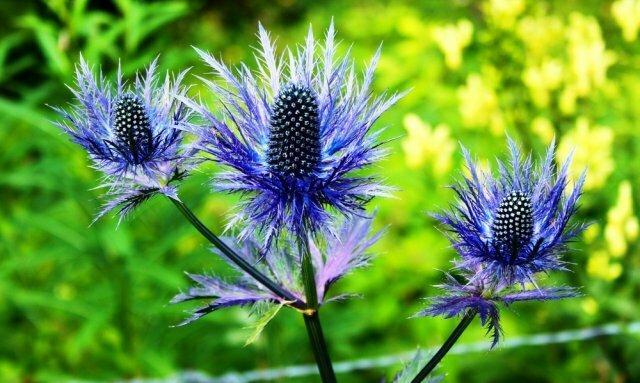 Синеголовник - голубые кристаллы в вашем саду