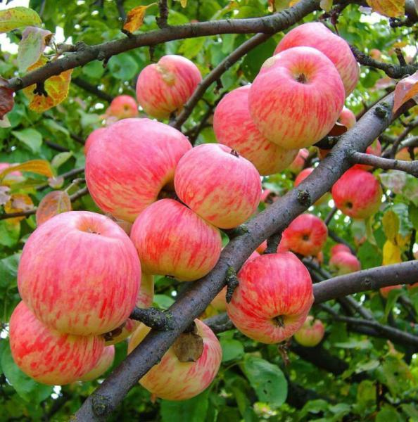 Сорт яблони Коричное полосатое: описание и уход