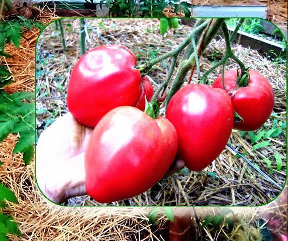 Сорта томатов с богатой отдачей урожая