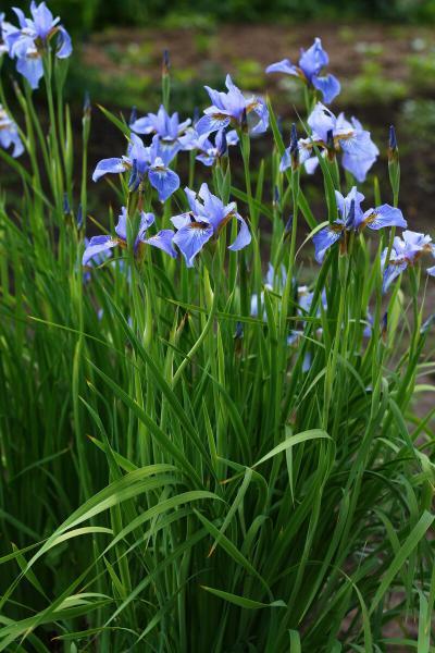 ТОП красивых цветов для ленивых садоводов