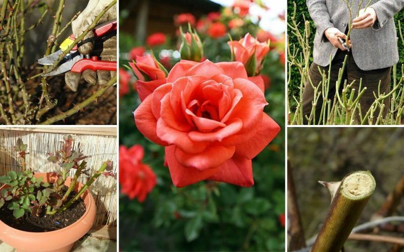 Весенний уход за садовыми розами. Лаконично, но обо всем.