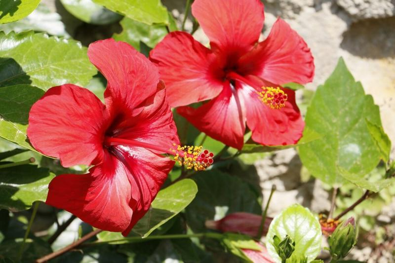 25 красивых комнатных растений с красными цветами