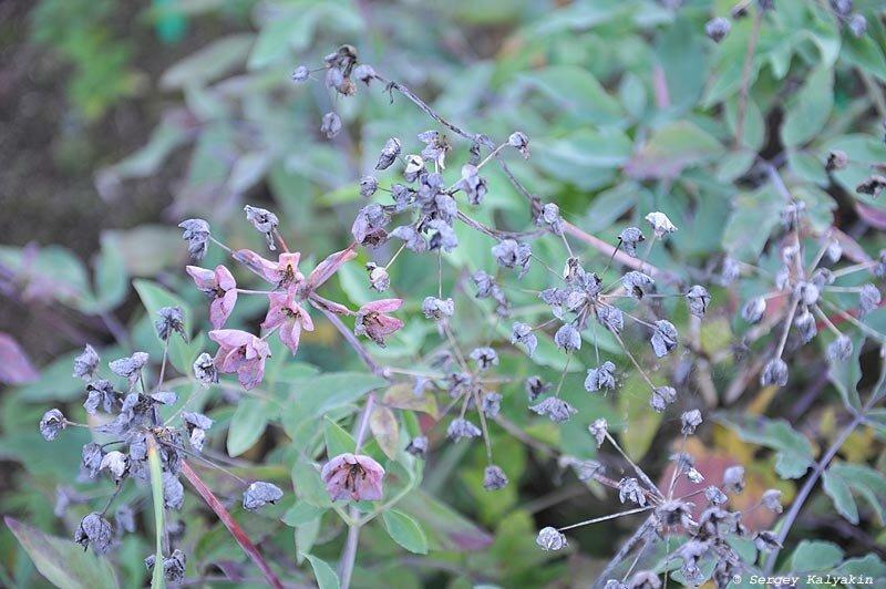 5 зонтичных цветов из моего сада. Часть 1