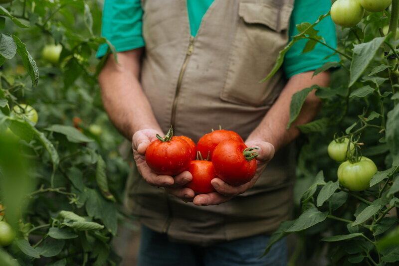 Бабушкин секрет: отличный помидор для любого климата