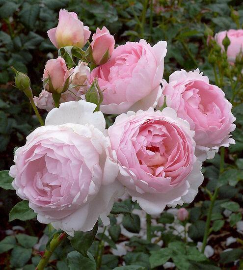 Царица сада. Прекрасные розы в Светлое Воскресение.