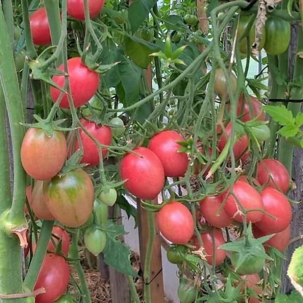 Этот томат никого не оставит равнодушным
